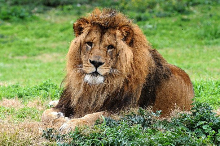 Lions are sometimes shot on site before slaughter.