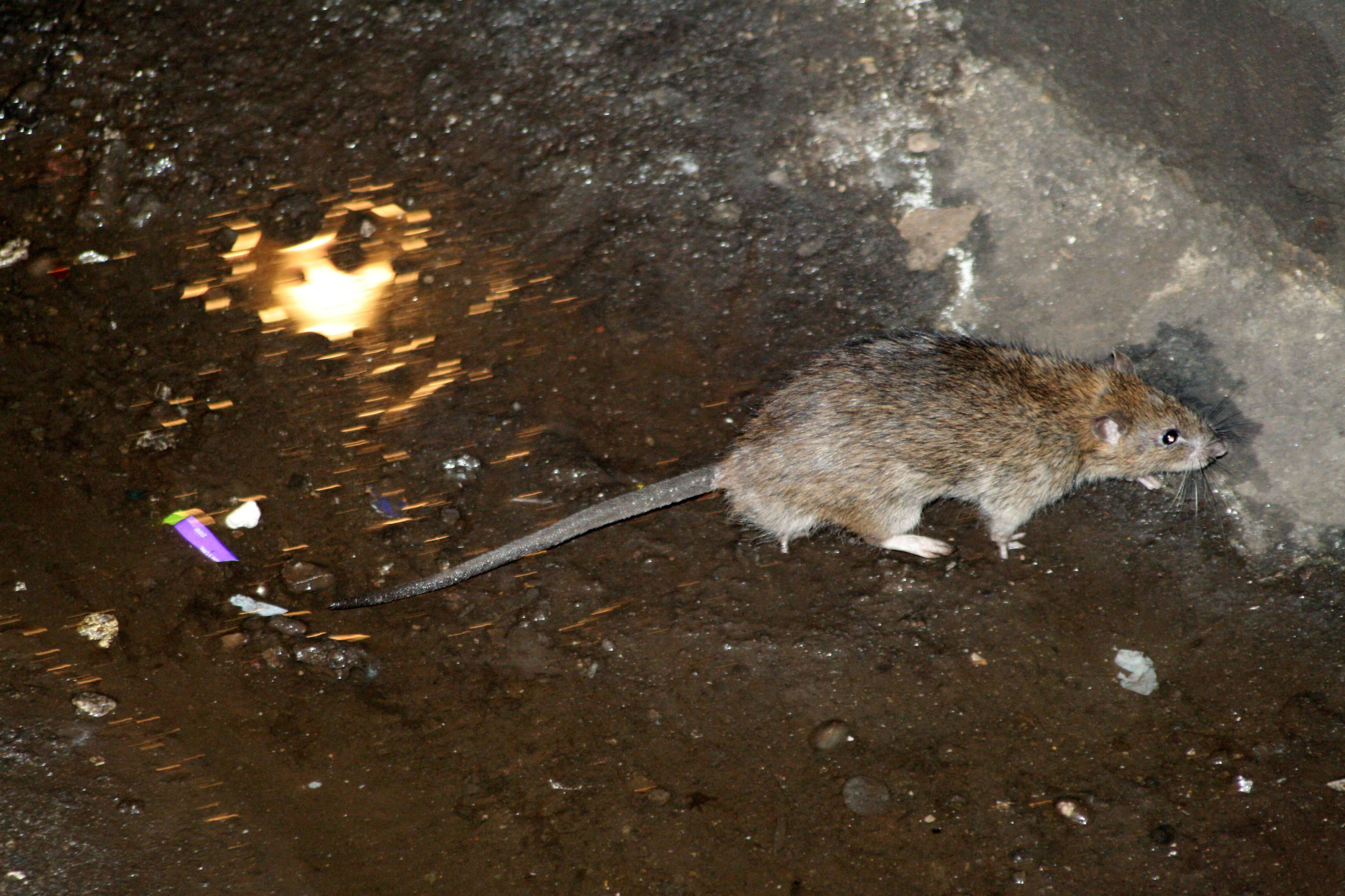 New York City Will Spend 32 Million To Fight Rats