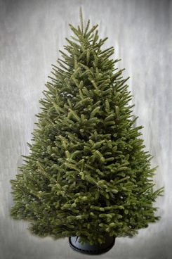 Weir Tree Farms Fralsam Fir Christmas Tree