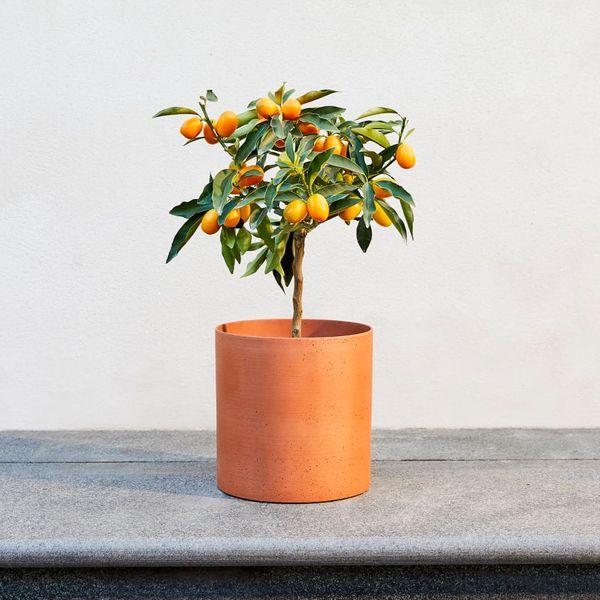 Kai Orange Tree