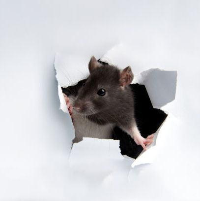 A rat just tearing stuff apart.