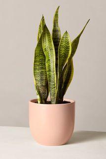 Snake-Plant Laurentii