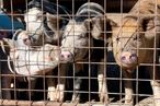 Horrifying Report Says Efforts to Breed Cheap and Profitable Meat Create Widespread Animal Cruelty, Too