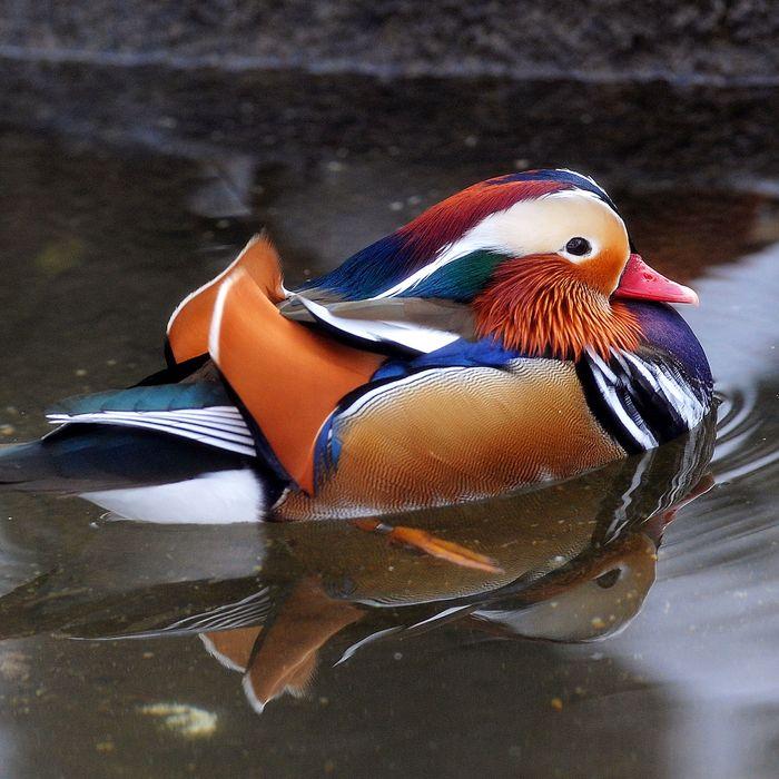 The hot, mysterious mandarin Duck.
