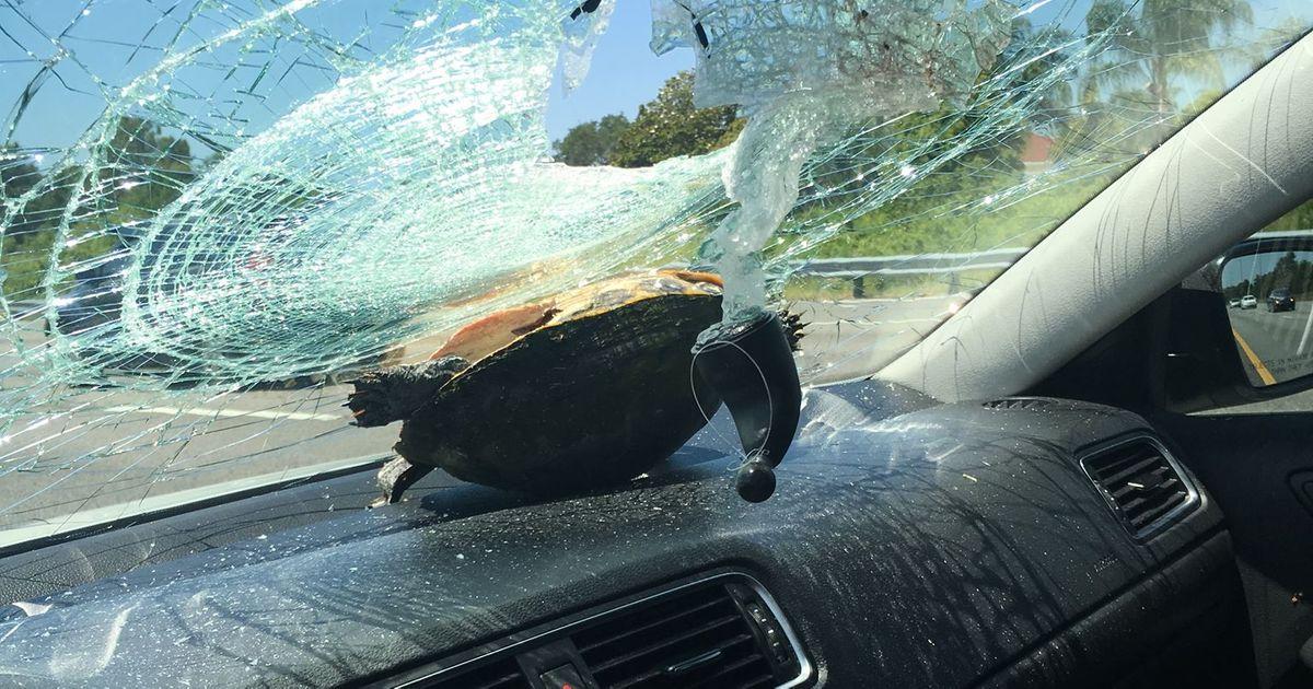 Florida Car Accident: 'Big Ass Turtle' Survives High-Speed Car Crash In Florida