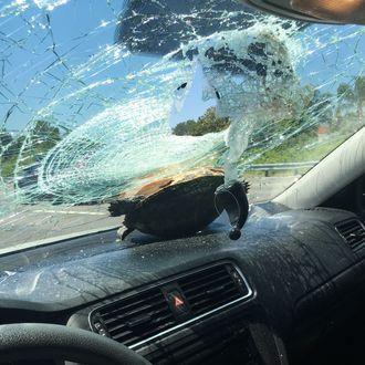 Big Ass Turtle' Survives High-Speed Car Crash in Florida