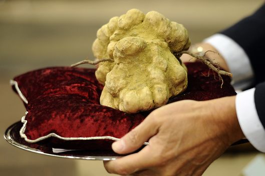 "An official displays a while truffle on An official dispalys a 900 grams white truffle with the mother (roots) wich was auctionned for 105 000 euros on November 14, 2010 during the traditionnal annual truffle auction sale in Alba, northern Italy. The Piemonte region, where Alba is located, is considered to have the best ""tartufo bianco"" (white truffles) in the world. AFP PHOTO / Filippo MONTEFORTE (Photo credit should read FILIPPO MONTEFORTE/AFP/Getty Images)"