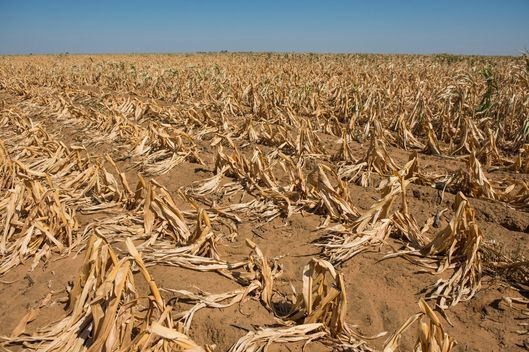 Dried maize corn plants grow in a drought affected field operated by farmer Ryan Mathews in Lichtenburg, North West Province of South Africa, on Friday, March 20, 2015.