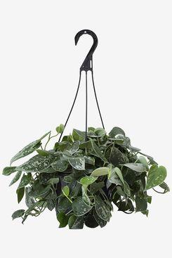 LiveTrends Design Scindapsus Silver Philo in Hanging Basket Grower Pot
