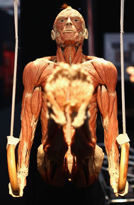 A plastinated human corpse posed to look like a gymnast is pictured at the Body Worlds exhibition on April 29, 2011 in Berlin, Germany.