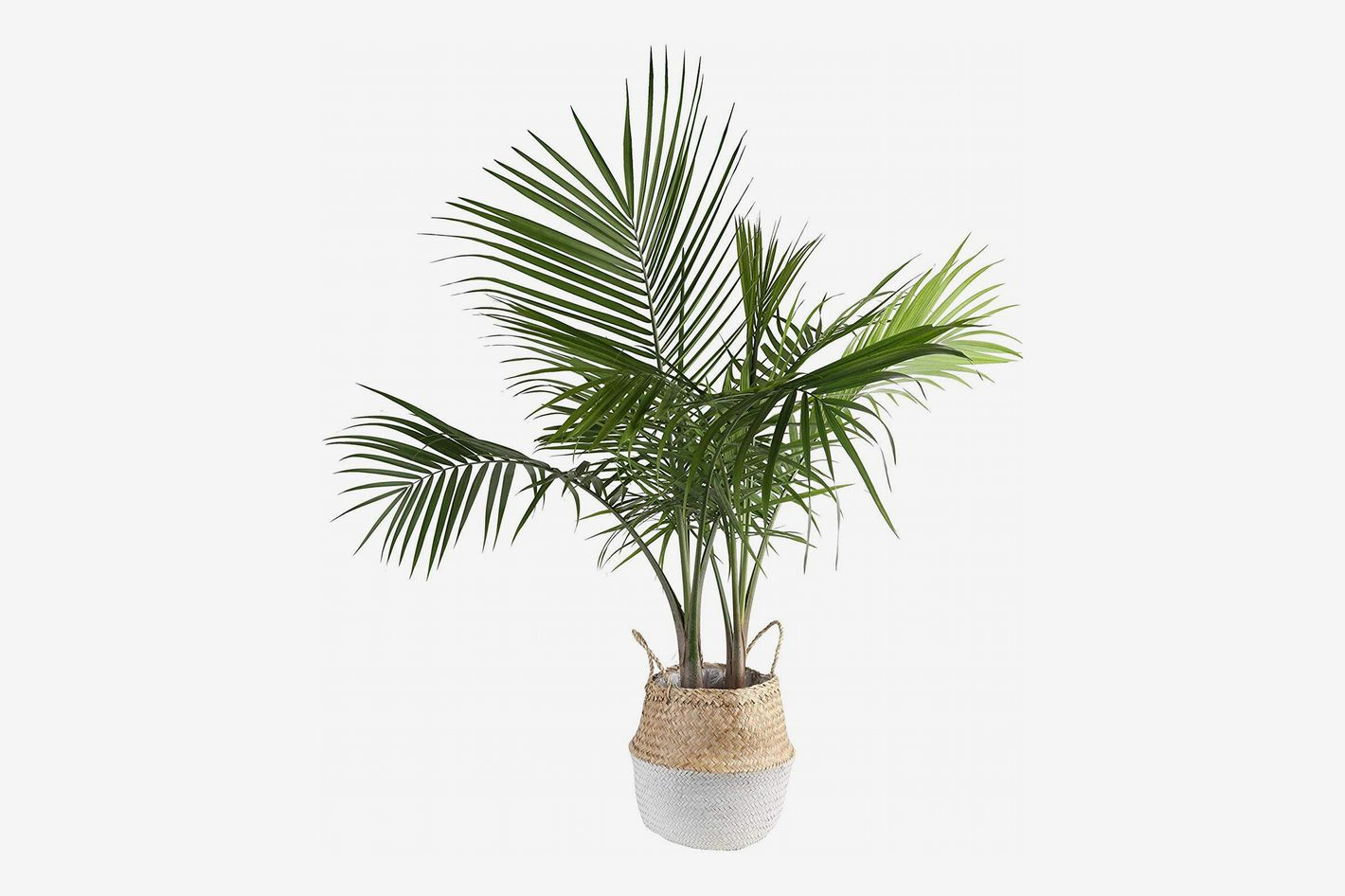 Costa Farms Majesty Indoor Palm Tree in Seagrass Basket, 3-Feet Tall