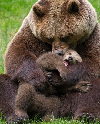 A different bear cub and their mom.