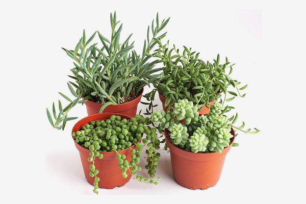 Shop Succulents Hanging Live Succulent Plants