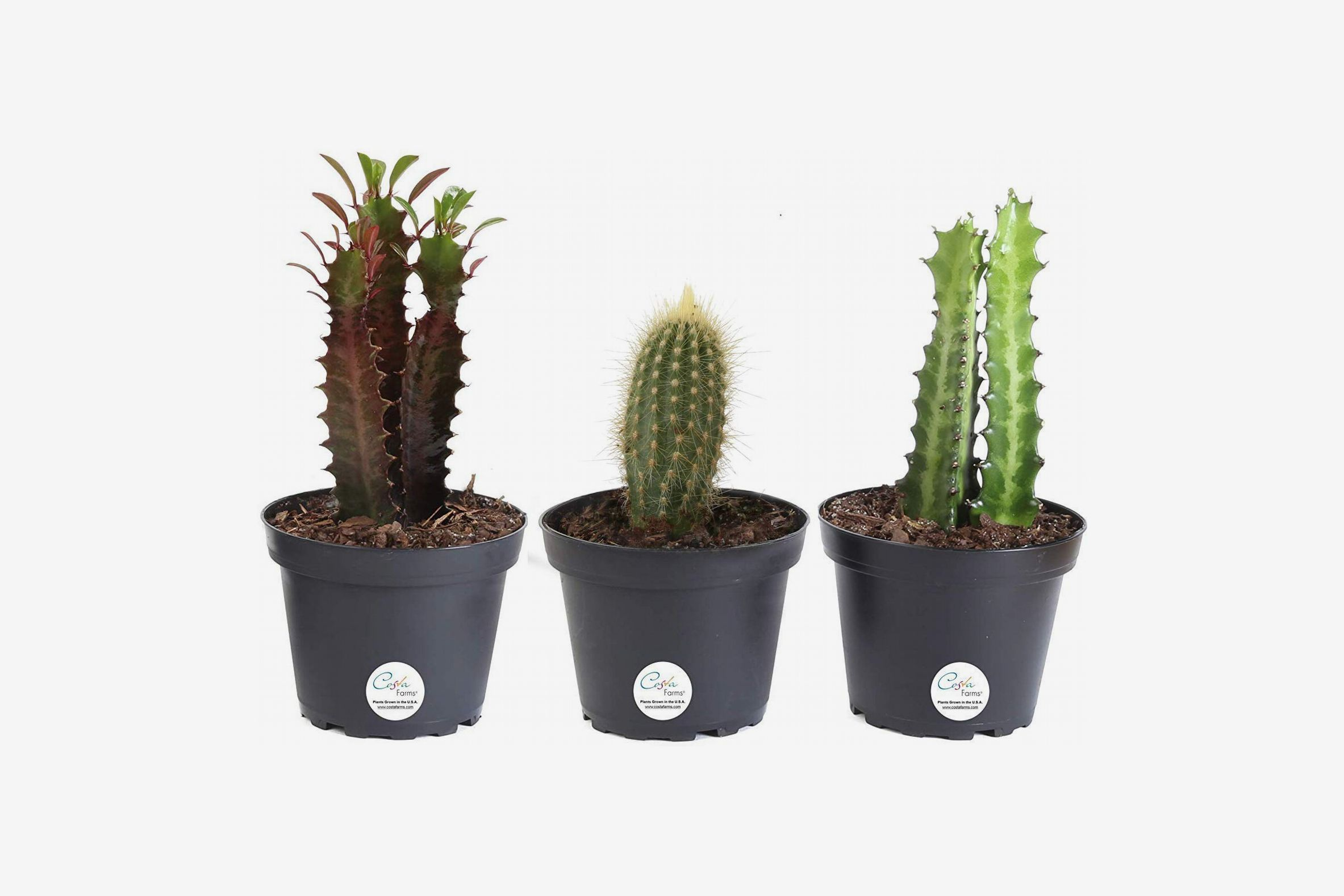 Costa Farms 3-Pack Assortment Euphorbia Cactus, 7 to 10-Inches Tall, Ships in Grower Pot
