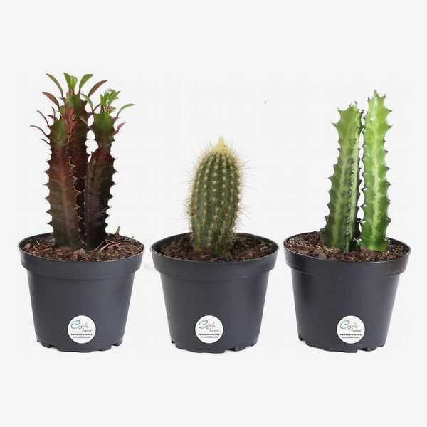 costa farms 3-pack assortment euphorbia cactus, 7 to 10-inches tall, ships in grower pot - strategist best 3-pack cactus plant