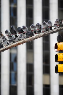 Pigeon rest on a trafic light in New York, January 27, 2011. AFP PHOTO/Emmanuel Dunand (Photo credit should read EMMANUEL DUNAND/AFP/Getty Images)