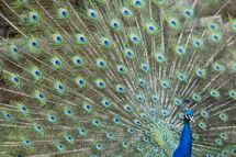 A peacock spreads its tail on June 30, 2011, at the Amneville's zoo, eastern France.