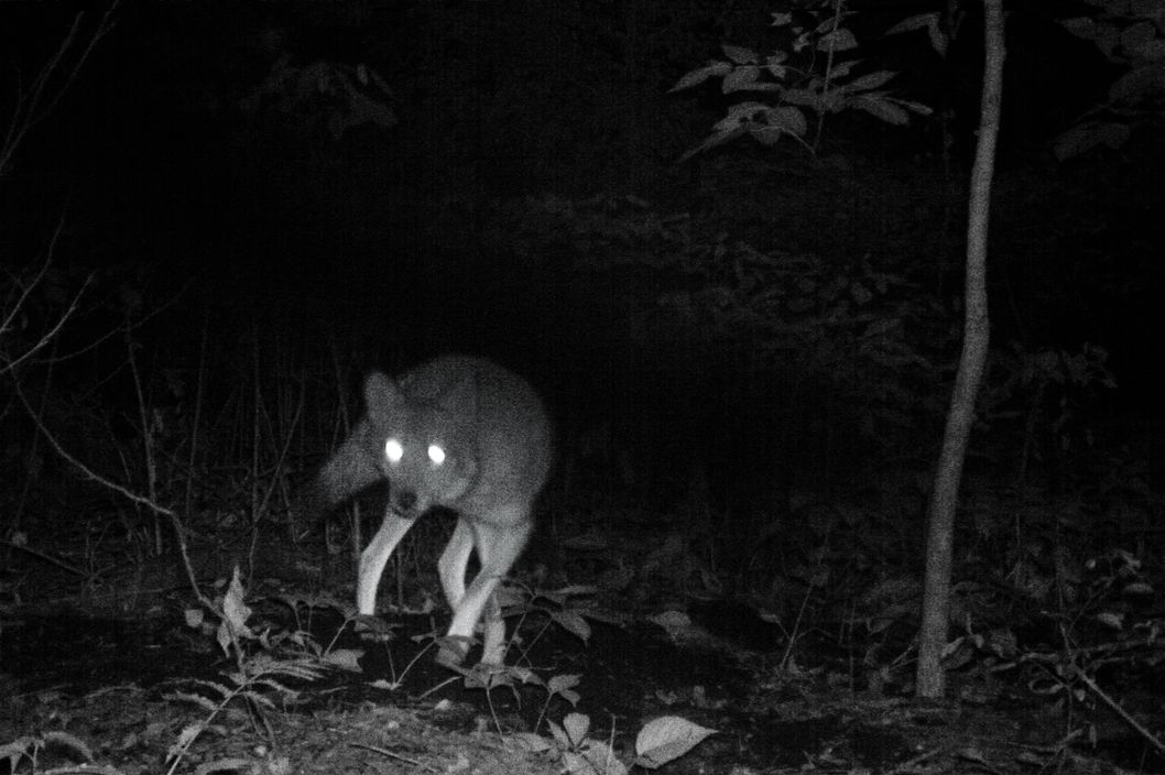 Why Coyotes Are Flourishing In New York City Nymag
