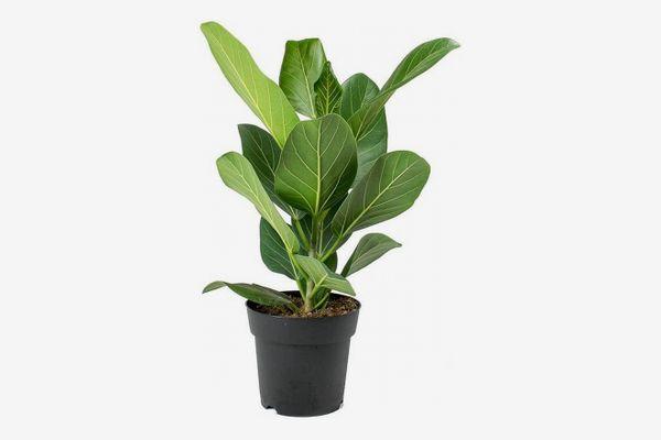 Ficus Audrey, 6-Inch Pot