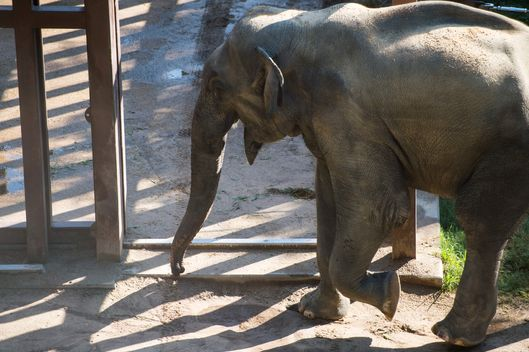 Kandula will be transported to Oklahoma City to breed with other elephants