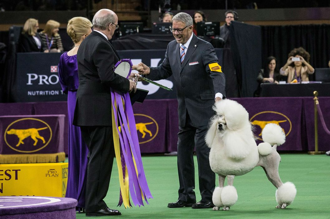 NEW YORK, NY - FEBRUARY 11:  Allie, a standard poodle, wins the Reserve Best in Show in the Westminster Dog Show on February 11, 2014 in New York City. The Best in Show award went to Sky, a wire fox terrier.  (Photo by Andrew Burton/Getty Images)