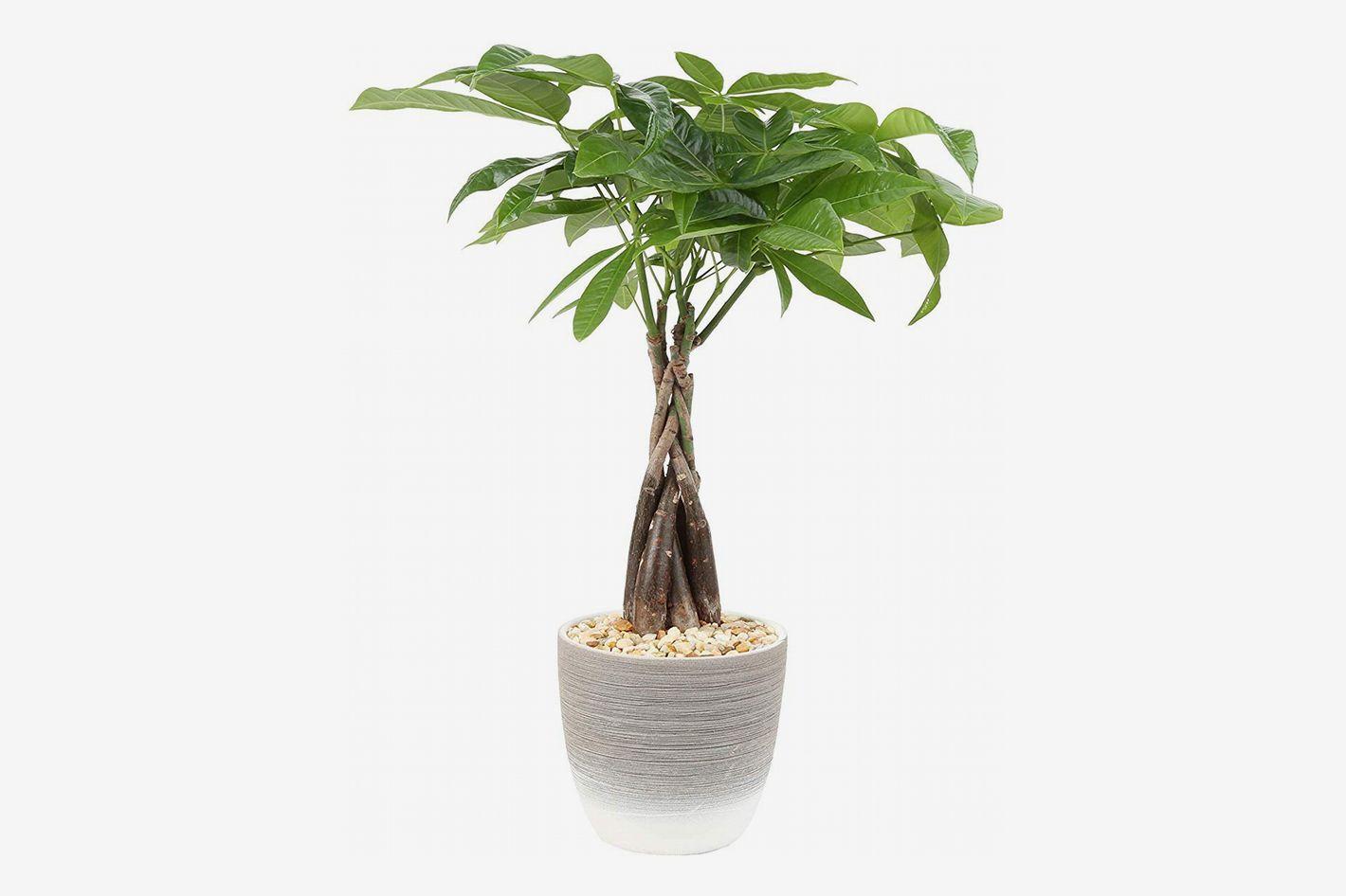 Costa Farms Money Tree in Ceramic Planter, 16-Inches Tall