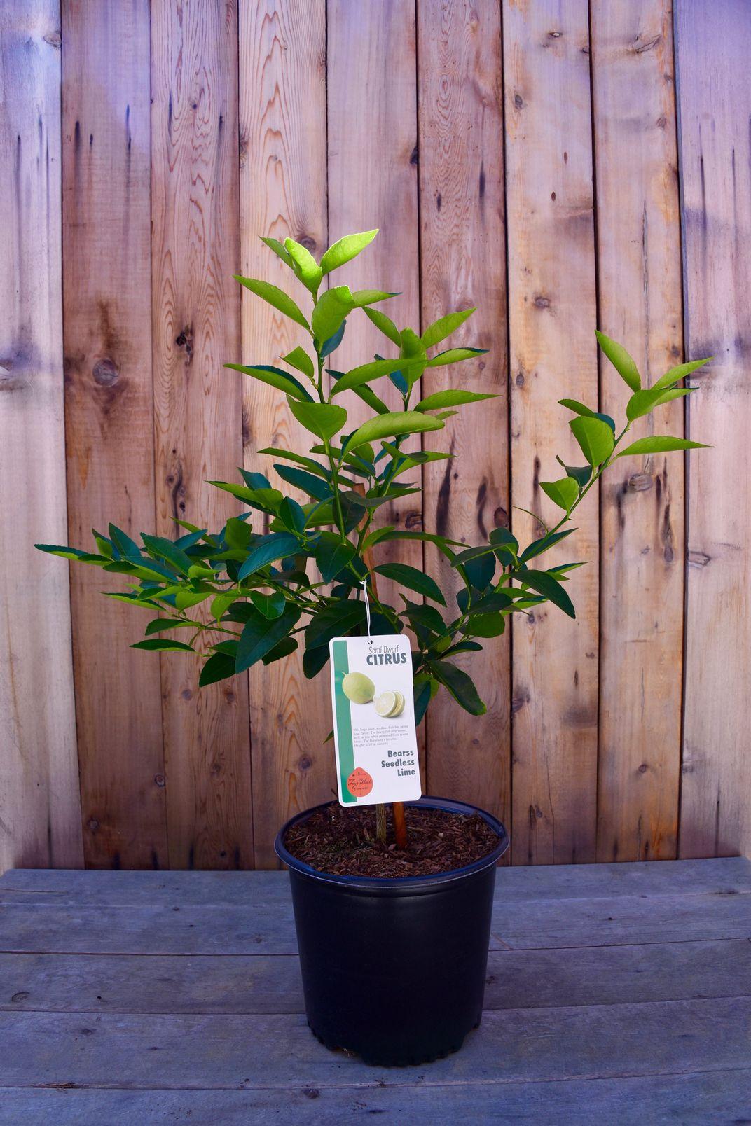 Seven Best Indoor Fruit Trees Lemon Lime Amp More 2019