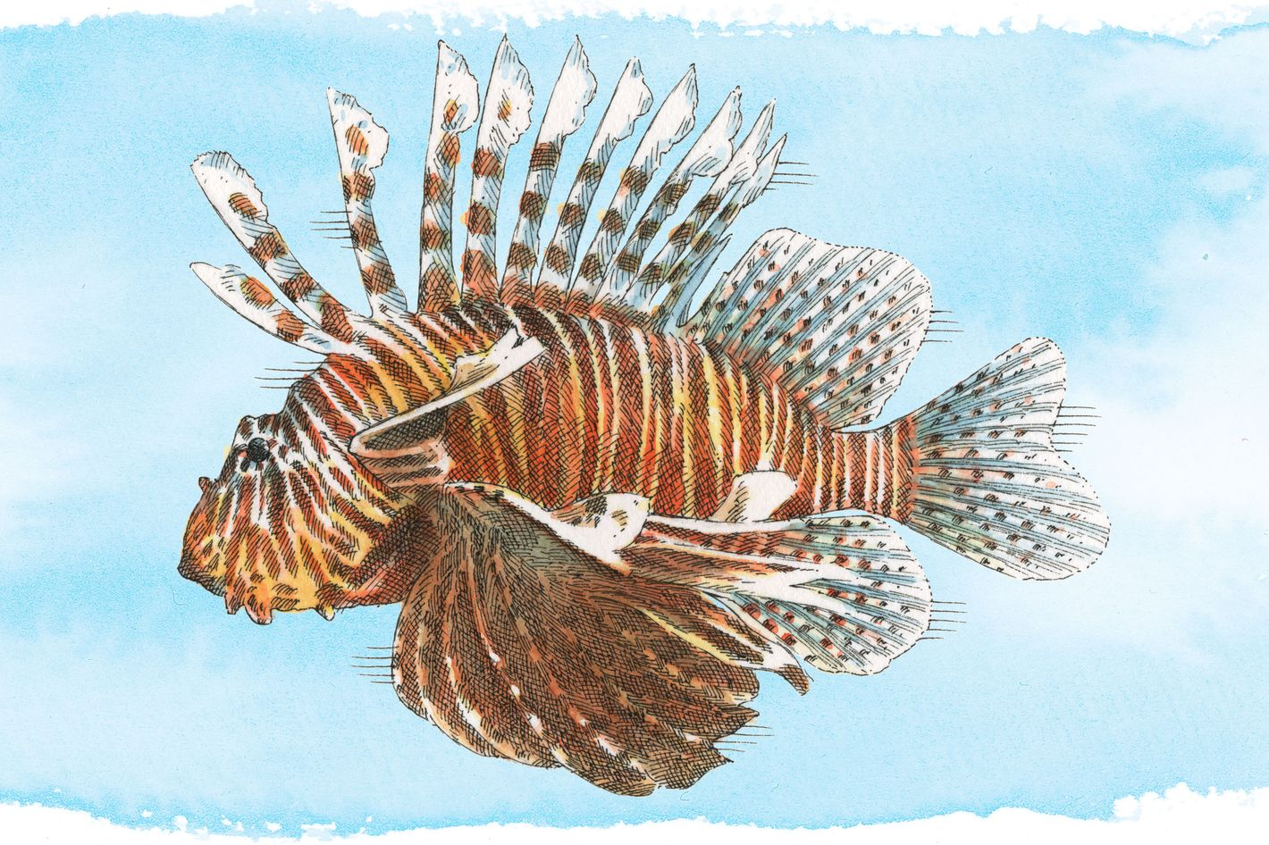 Lionfish are indigenous to the Indo-Pacific area.