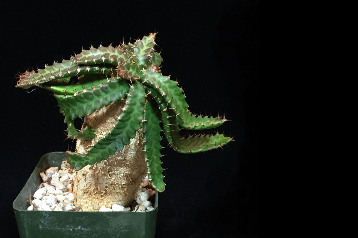 Euphorbia stellata #1