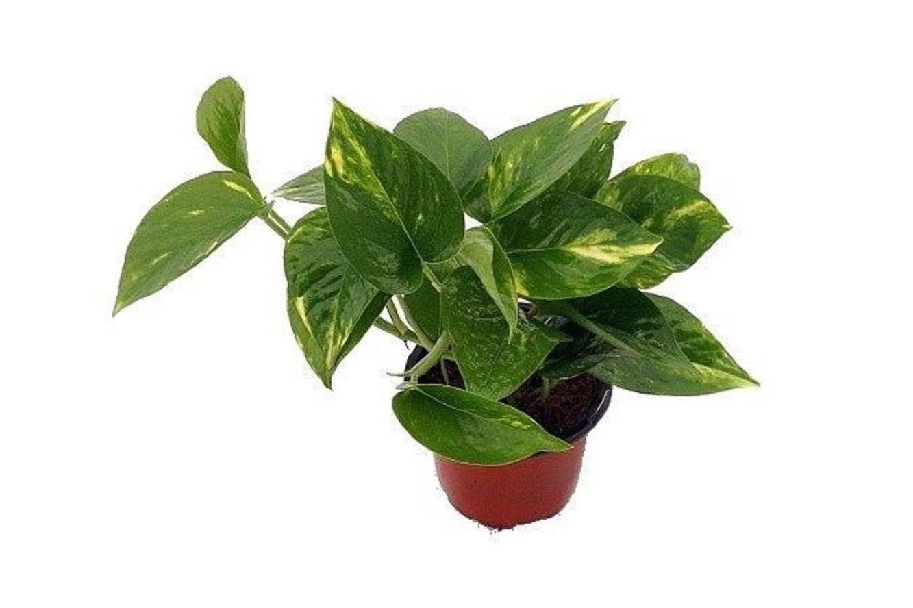 """Golden Devil's Ivy, Pothos 4"""" Pot"""