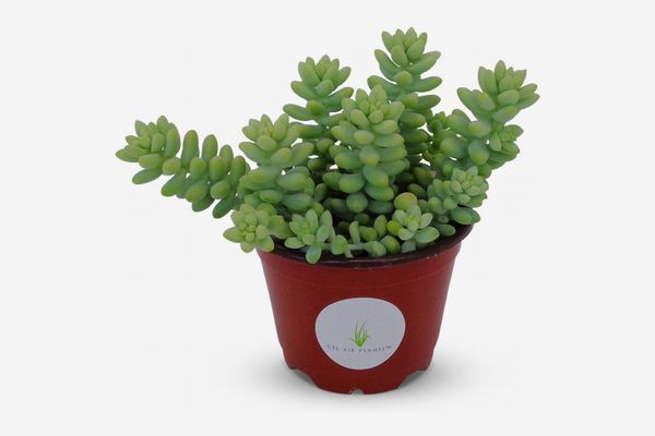 Donkey-Tail Succulent Cluster