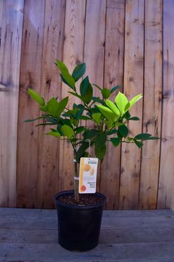 Improved Meyer Semi-Dwarf Lemon Tree