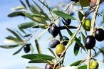 Insect Infestation Threatens Italy's Supply of Olive Oil