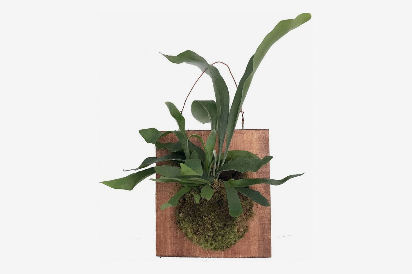 Hirt's Gardens Large Mounted Staghorn Fern, 10-Inch by 9-Inch Walnut Stain Plaque