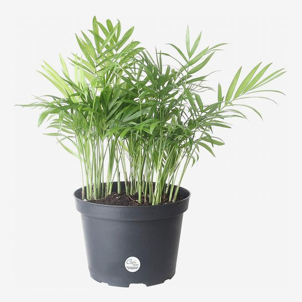 Costa Farms Neanthebella Parlor Palm, 14-Inches Tall in Grow Pot