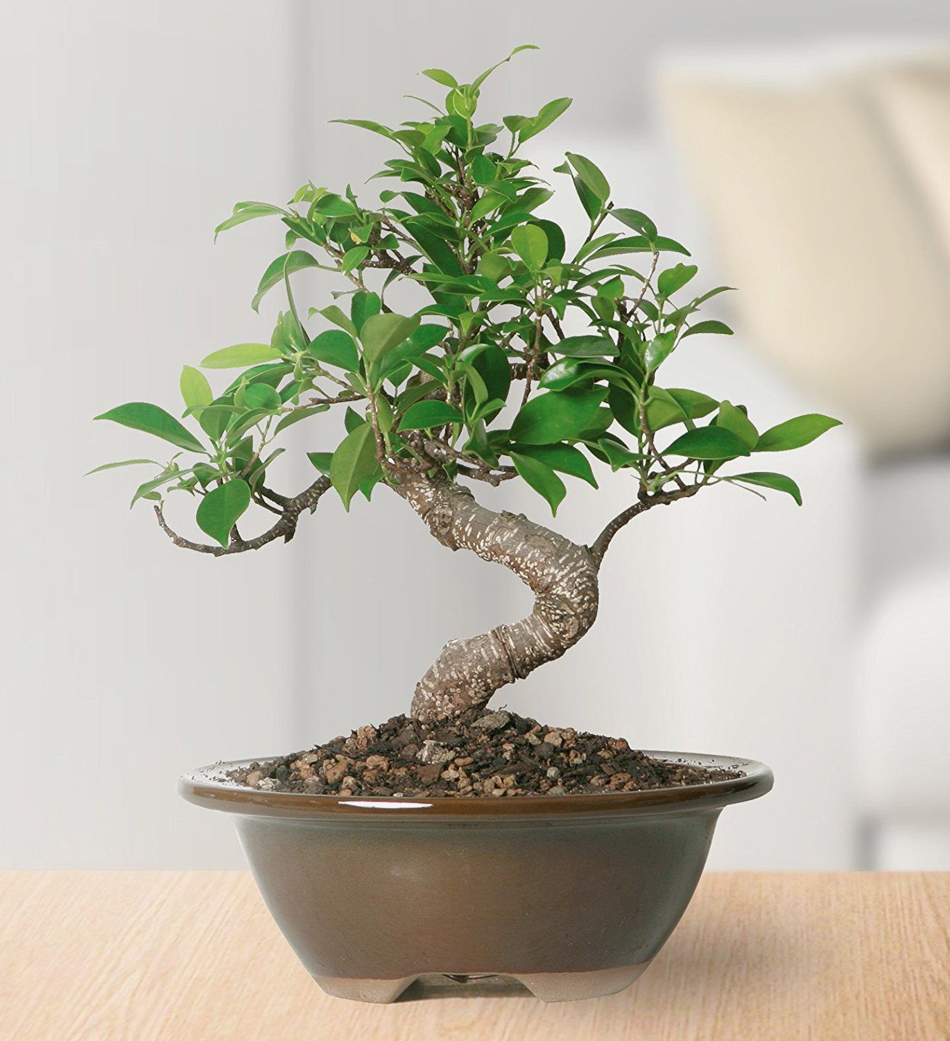Brussel's Golden Gate Ficus Bonsai — Small