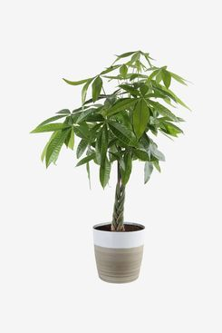 Costa Farms 10-Inch Pachira Live Indoor Plant