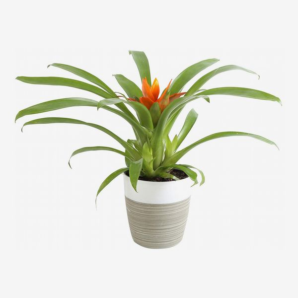 Costa Farms Flowering Bromeliad with an orange bloom in a striped grey and white pot. The Strategist - Amazon Has Practically an Entire Plant Nursery on Sale Right Now