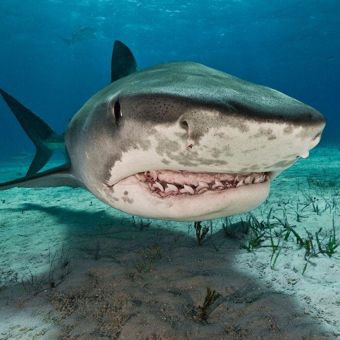 Tiger shark.