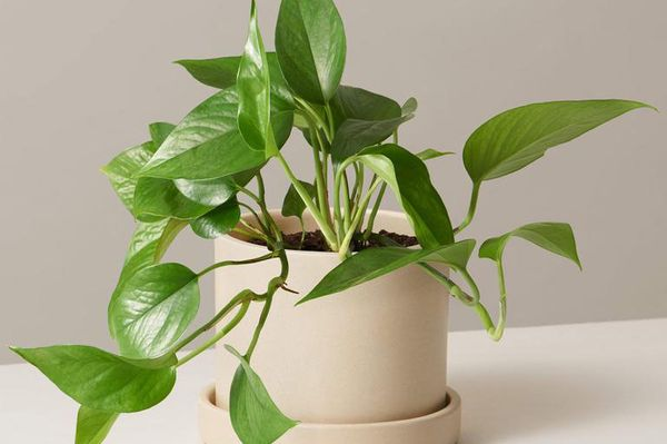 Jade Pothos in 5-Inch Ceramic Hyde Planter