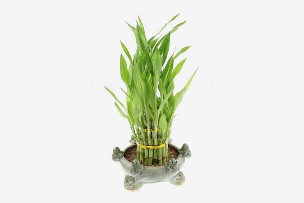 NW Wholesaler Lucky Bamboo 3-Tier Tower with Green Ceramic Frogs Pot