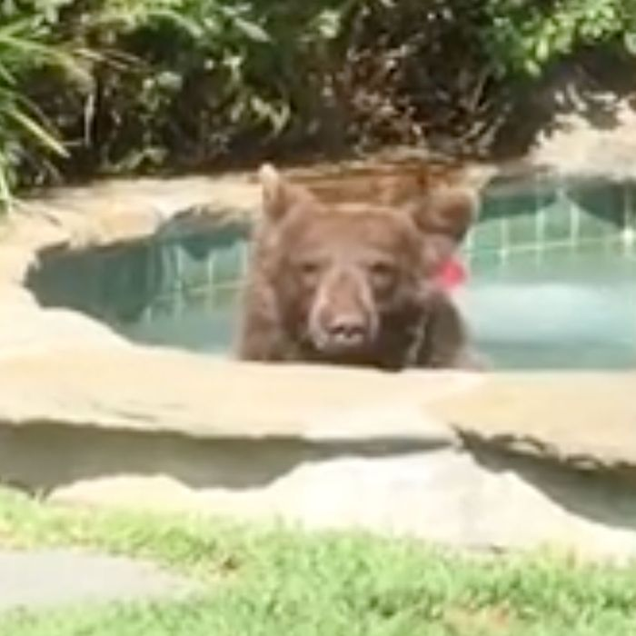 Bear in a hot tub.