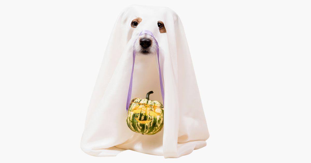 Dog under blanket as funny Halloween ghost holding Jack o'lantern carved pumpkin