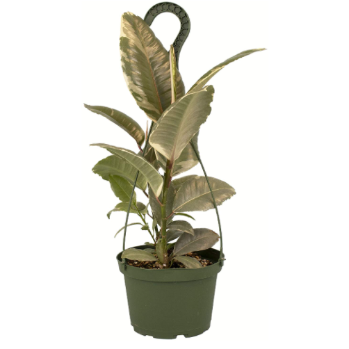 Shop Succulents Live Burgundy Ficus Gum Tree (Simple)