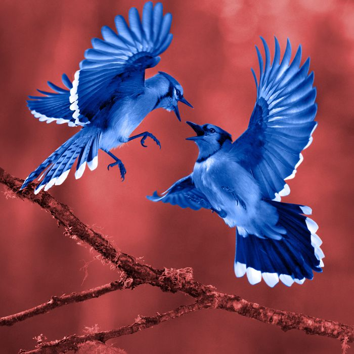 Blue Jay (Cyanocitta cristata) pair fighting while a third watches, Minnesota