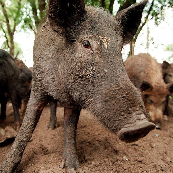 Feral hogs.