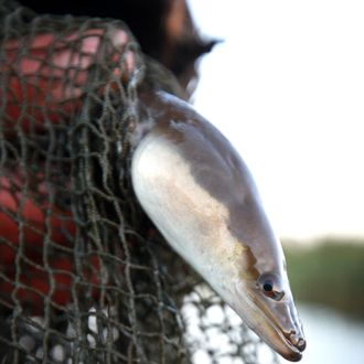Traditional eel fisherman Peter Carter holds an eel at first light on September 30, 2010 near Outwell, England.