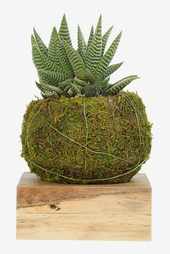 Costa Farms Kokedama Japanese Moss Ball Planter with Live Haworthia Succulent Plant