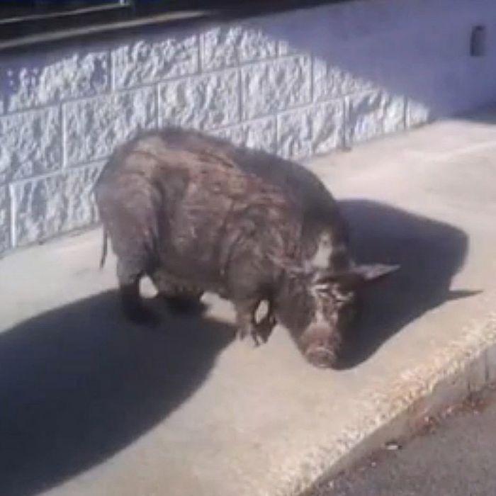 A porcine sit-in.