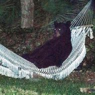 A black bear lies on a hammock at a residential back yard in Daytona Beach Florida